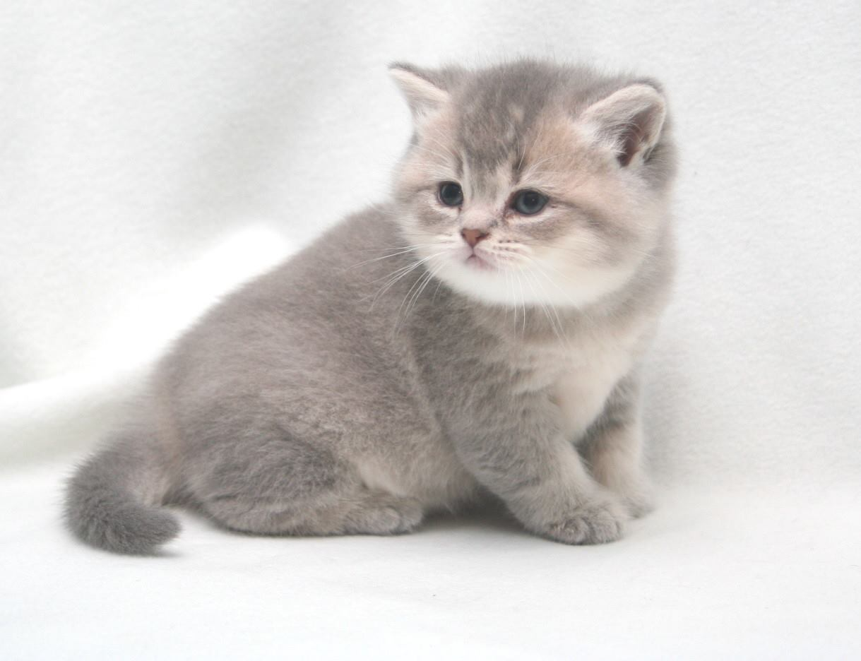 Burlea British Shorthairs | British Shorthair Breeder in