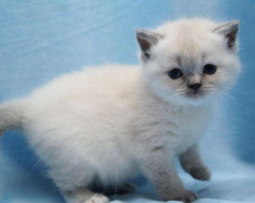 We have a delightful Blue Tortie Colourpointed Girl Available